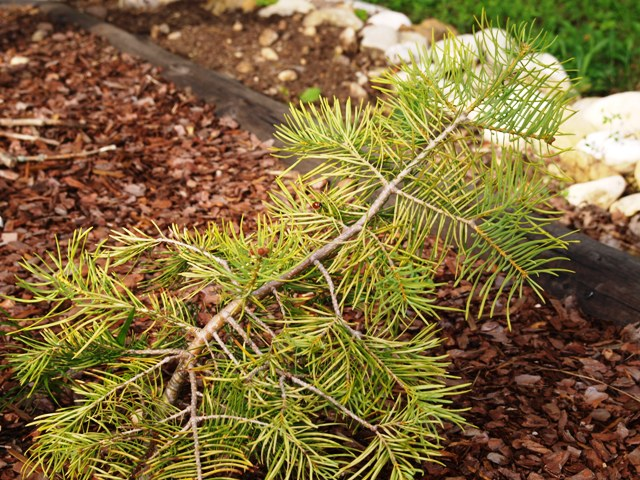 Abies concolor 'Spacek'