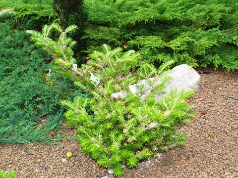 Abies koreana 'Golden Glow'