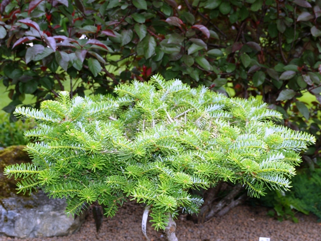 Abies koreana 'Houte Mayer'