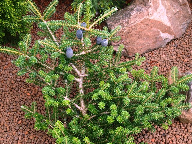 Abies koreana 'Knospenkönigin'