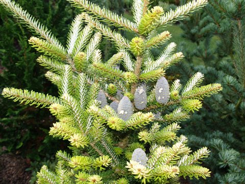 Abies koreana 'Luminetta'