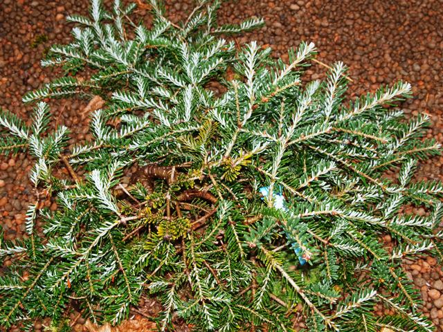 Abies koreana 'Piccolo'