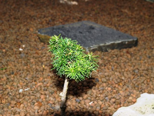 Abies lasiocarpa 'Duflon'