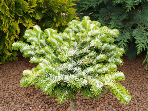 Abies veitchii 'H. B. Kramer'