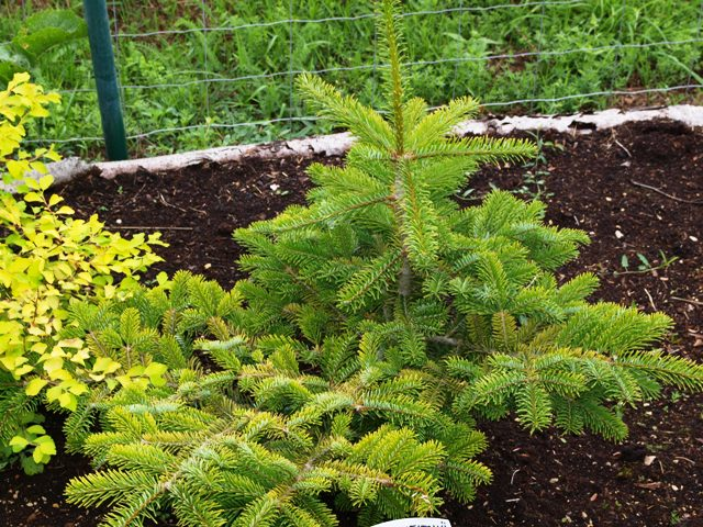Abies veitchii 'Golden'