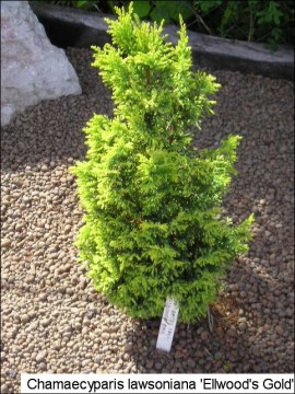 Chamaecyparis lawsoniana 'Ellwood's Gold'