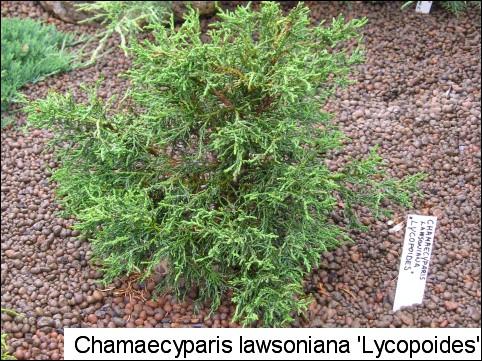Chamaecyparis lawsoniana 'Lycopodioides'