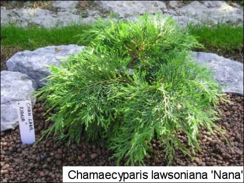 Chamaecyparis lawsoniana 'Nana'