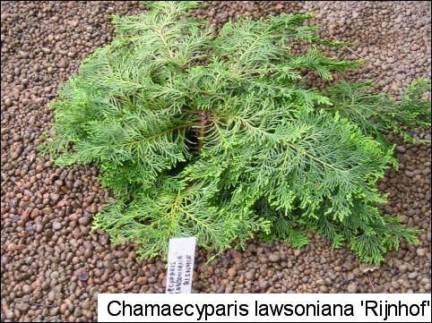 Chamaecyparis lawsoniana 'Rijnhof'