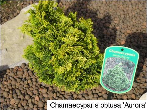 Chamaecyparis obtusa 'Aurora'