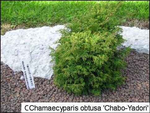 Chamaecyparis obtusa 'Chabo-yadori'