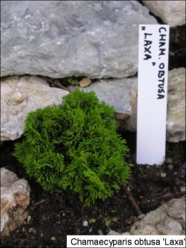 Chamaecyparis obtusa 'Laxa'