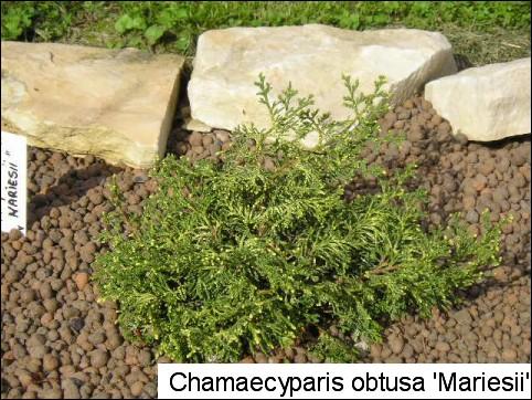 Chamaecyparis obtusa 'Mariesii'