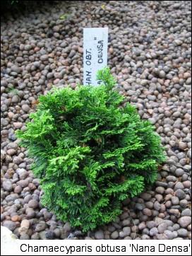 Chamaecyparis obtusa 'Nana Densa'
