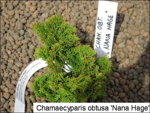 Chamaecyparis obtusa 'Nana Hage'