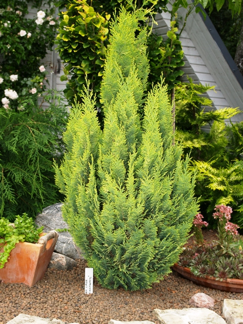 Chamaecyparis lawsoniana 'Kingswood'