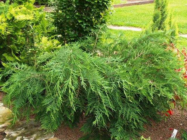 Chamaecyparis lawsoniana 'Parsons'