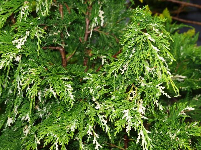 Chamaecyparis lawsoniana 'Silver Tip'