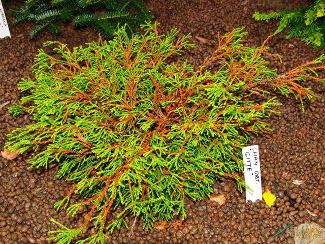 Chamaecyparis obtusa 'Gitte'
