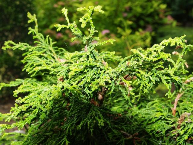 Chamaecyparis obtusa 'Torulosa'