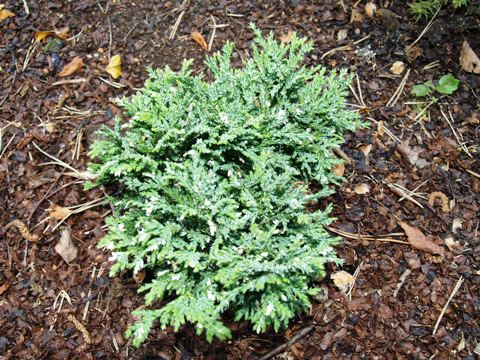 Chamaecyparis pisifera 'Albovariegata'