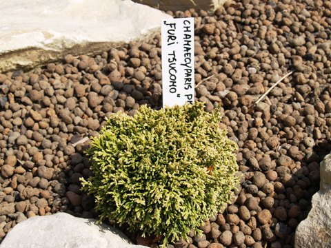 Chamaecyparis pisifera 'Fuiri-tsukomo'
