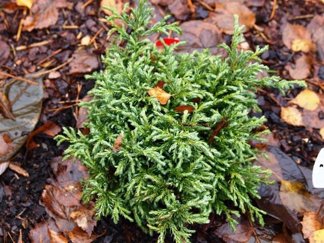 Chamaecyparis pisifera 'Lieve'