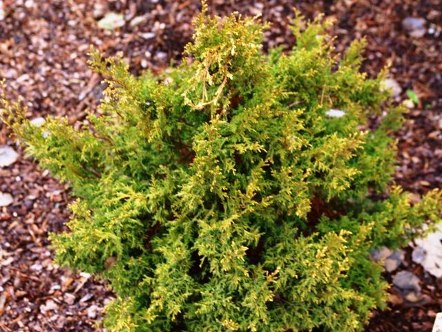 Chamaecyparis pisifera 'Plumosa Flavescens'
