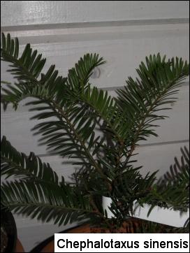 Cephalotaxus sinensis(C. fortunei)