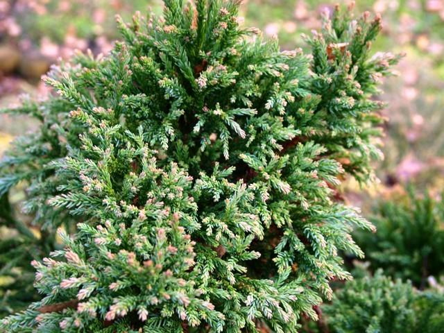 Cryptomeria japonica 'Nana Compacta'