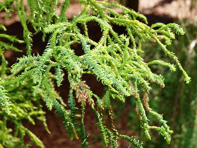Cryptomeria japonica 'Rasen-sugi'