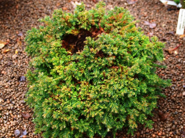 Cryptomeria japonica 'Taisho-tama'