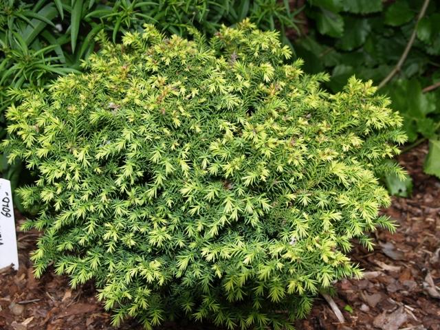 Cryptomeria japonica 'Vilmorin Gold'