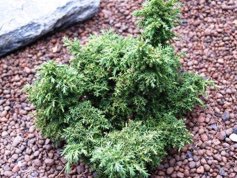 Cryptomeria japonica 'Yokohama'