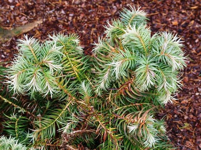 Cunninghamia lanceolata 'Glauca'