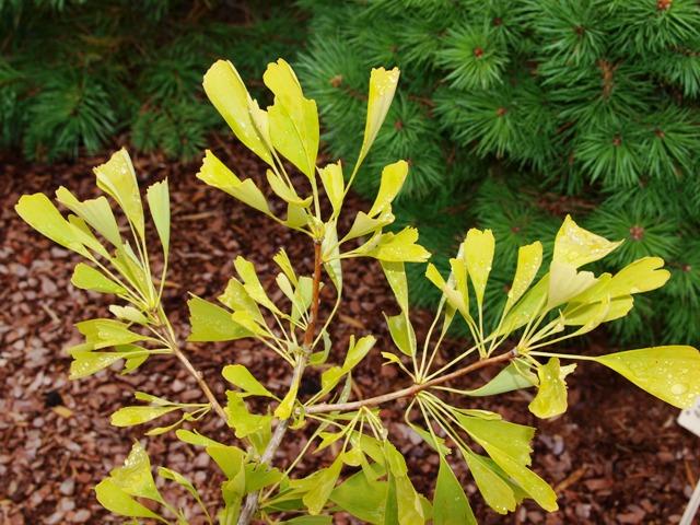 Ginkgo biloba 'Californian Sunset'
