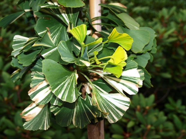 Ginkgo biloba 'Golden Dragon'