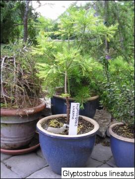 Glyptostrobus pensilis (Glyptostrobus lineata)