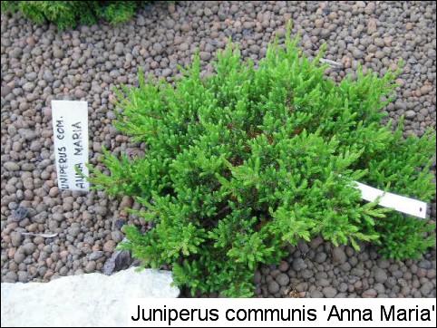Juniperus communis(J. chinensis) 'Anna Maria'