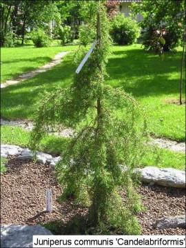 Juniperus communis 'Candelabriformis'