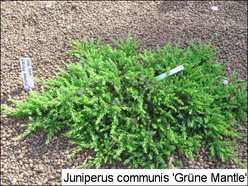 Juniperus communis 'Grüne Mantle'