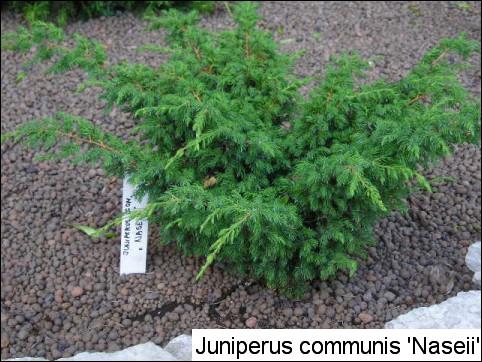 Juniperus communis 'Naseii'