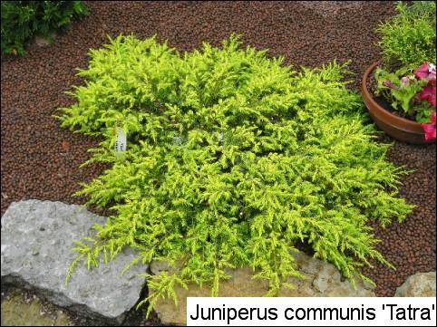 Juniperus communis 'Tatra'