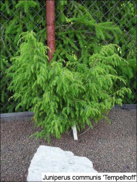 Juniperus communis 'Tempelhof'