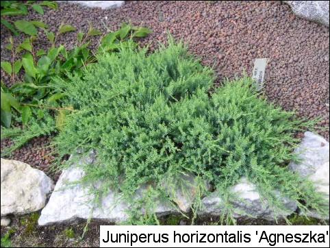 Juniperus horizontalis 'Agnieszka'
