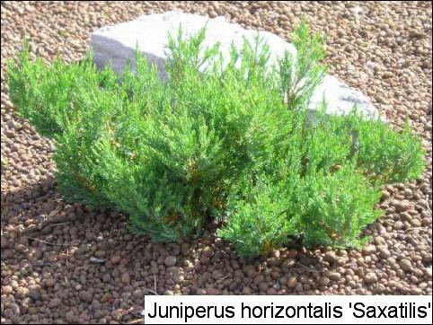 Juniperus horizontalis 'Saxatilis'