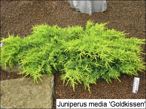 Juniperus x media 'Goldkissen'
