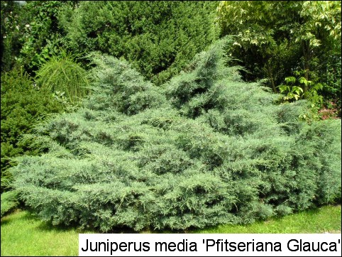 Juniperus x media 'Pfitzeriana Glauca'