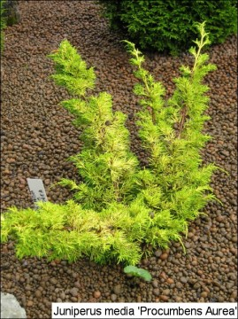 Juniperus x media 'Procumbens Aurea'