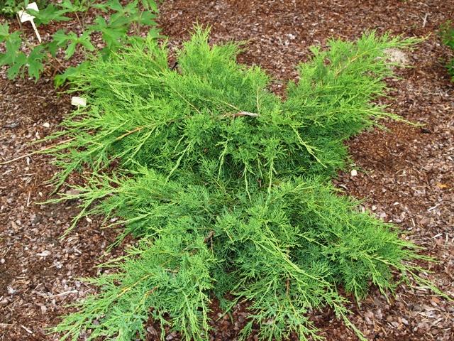 Juniperus sabina 'Musgrave'